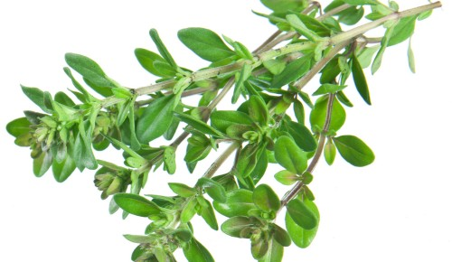 Green fresh thyme on white background.